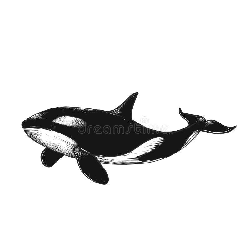 Killer whale illustration. Hand drawn vector killer whale. Sketch engraving illustration. Isolated royalty free illustration