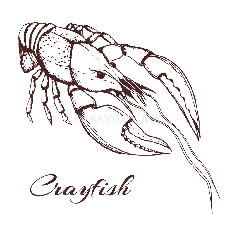 Hand drawn vector vintage illustration of crayfish on white background. engraved crawfish graphic. ink sketch of seafood. Outline. Hand drawn vector vintage stock illustration