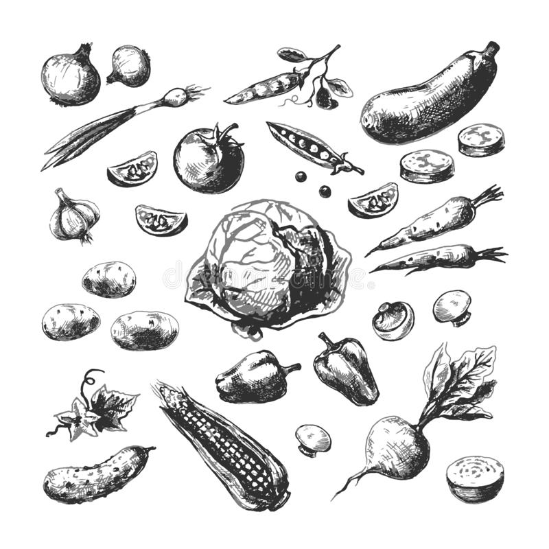 Hand drawn vegetables. Corn tomato potato beet carrot onion. Farm garden organic vegetarian food. Sketch set royalty free illustration