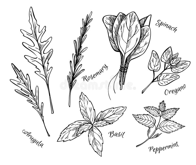 Hand drawn vintage illustration - herbs and spices. stock illustration
