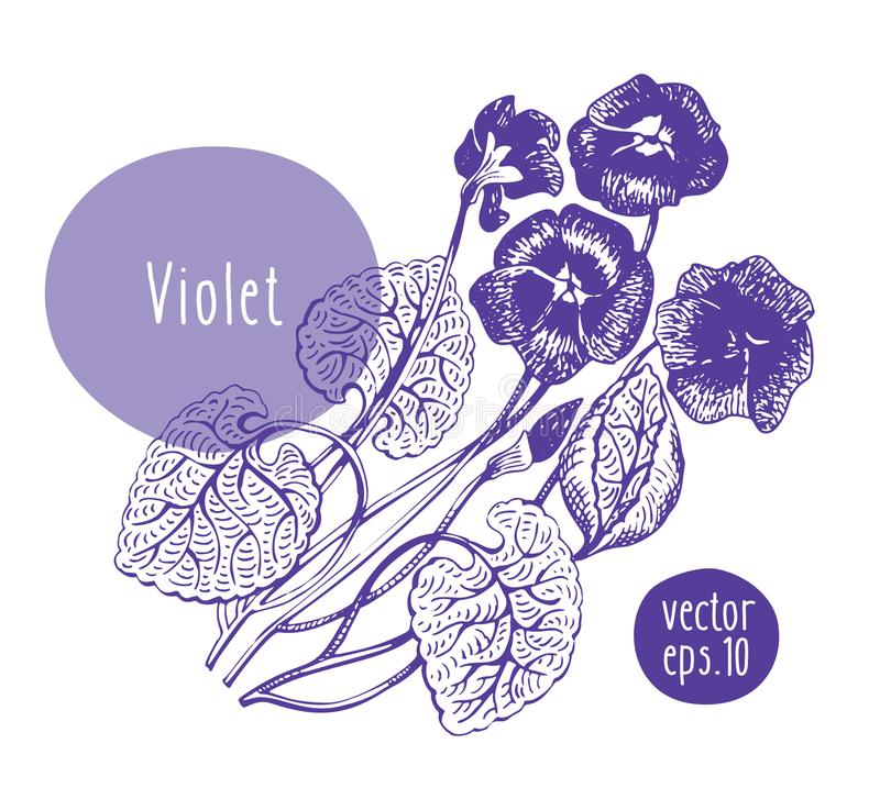 Hand drawn vintage violet. Vector blooming flower. Botanical illustration. Can be use for wedding invitations and vector illustration