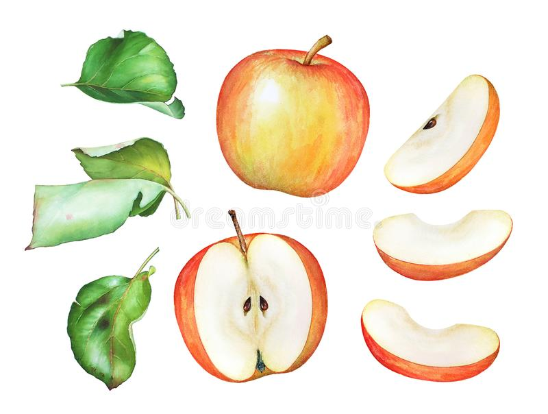 Watercolor illustration of the apples and green leaves royalty free illustration