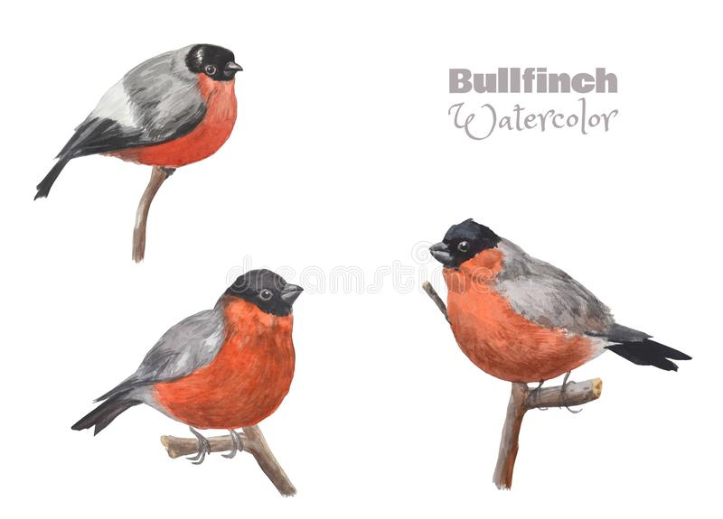 Hand-drawn watercolor bullfinch sitting on a branch. Set of beautiful birds. royalty free illustration