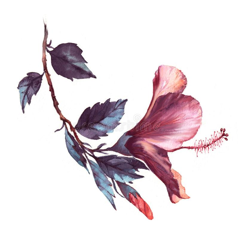 Hand-drawn watercolor floral illustration of the tender white with pink hibiscus flower royalty free illustration