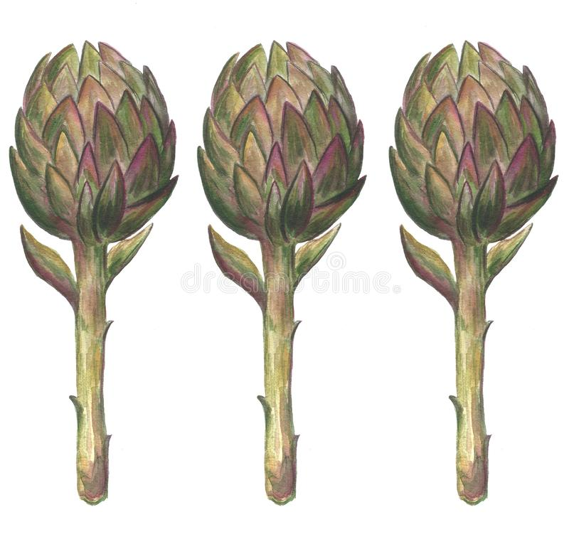 Hand drawn watercolor illustration of an artichoke. Isolated object on a white background stock image