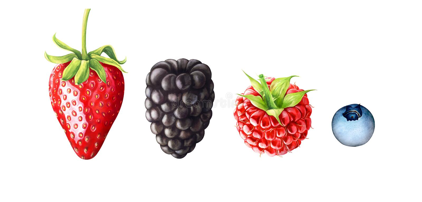 Watercolor illustration of berries. Strawberry, blackberry, raspberry, blueberry isolated on white background. Hand drawn watercolor illustration of berries stock illustration
