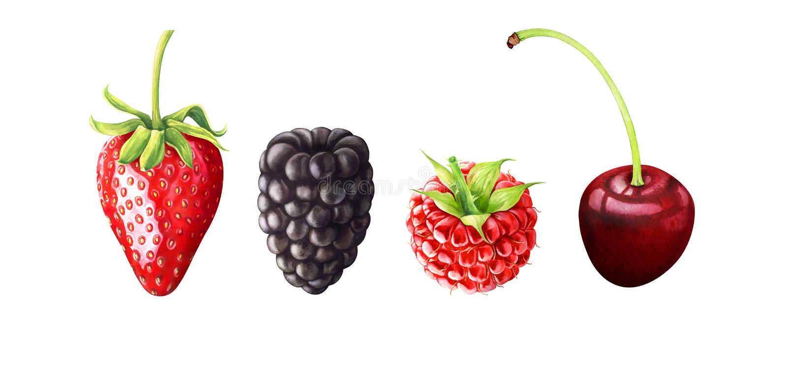 Watercolor illustration of berries. Strawberry, blackberry, raspberry, cherry isolated on white background. Hand drawn watercolor illustration of berries stock illustration