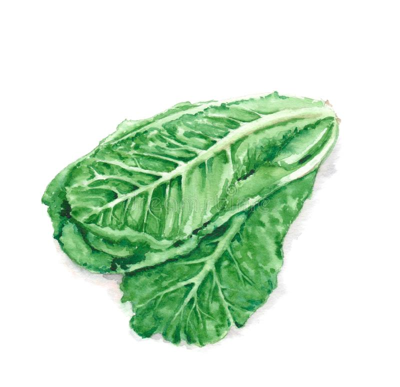 Hand drawn watercolor illustration of fresh green romaine lettuce leaves. Isolated on the white background. Vegetarian food product royalty free stock image