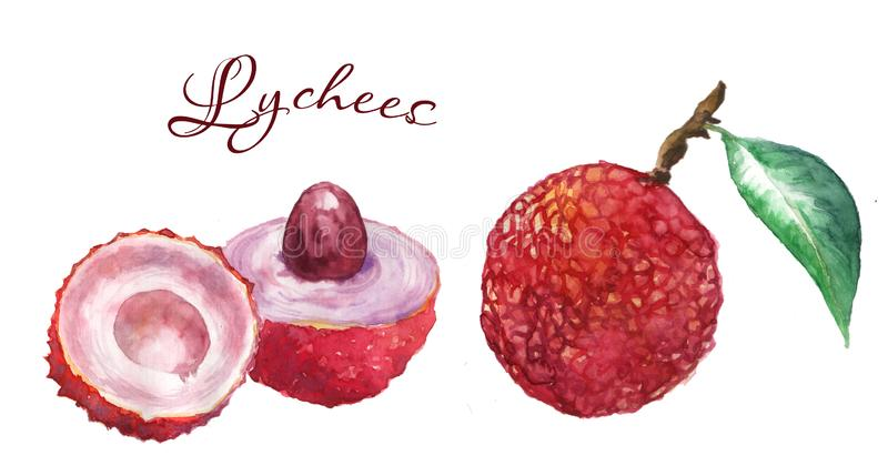 Watercolor illustration of lechee royalty free stock photography