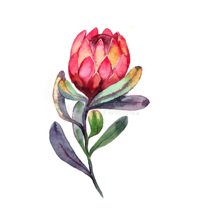 Free Hand-drawn Watercolor Illustration Of Red Protea Flower Royalty Free Stock Images - 110623069