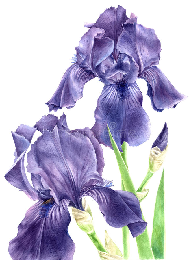 Hand drawn watercolor iris flowers vector illustration