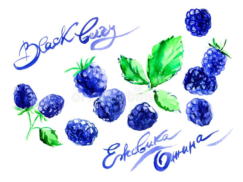 Hand drawn watercolor painting blackberry on white background. illustration of berries. The name of the watercolor in English,. Hand drawn watercolor painting royalty free illustration