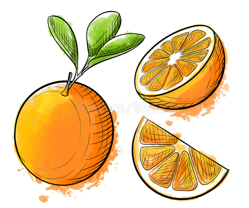 Hand drawn watercolor painting orange on white background. Sketch food illustration. stock illustration