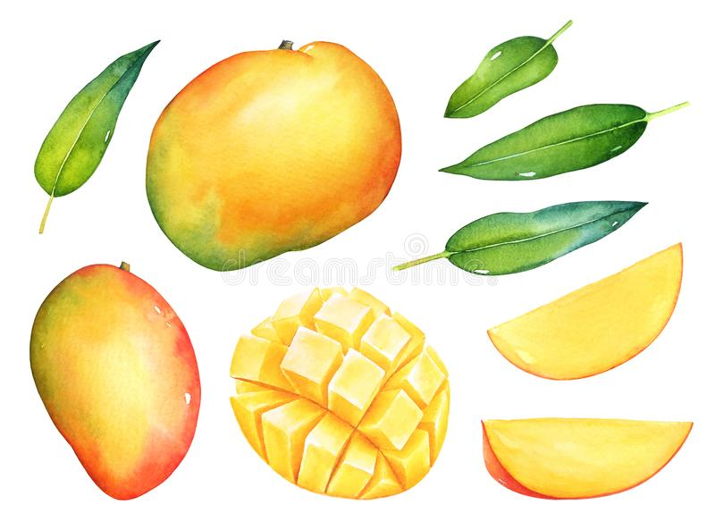 Watercolor set of mango fruits vector illustration
