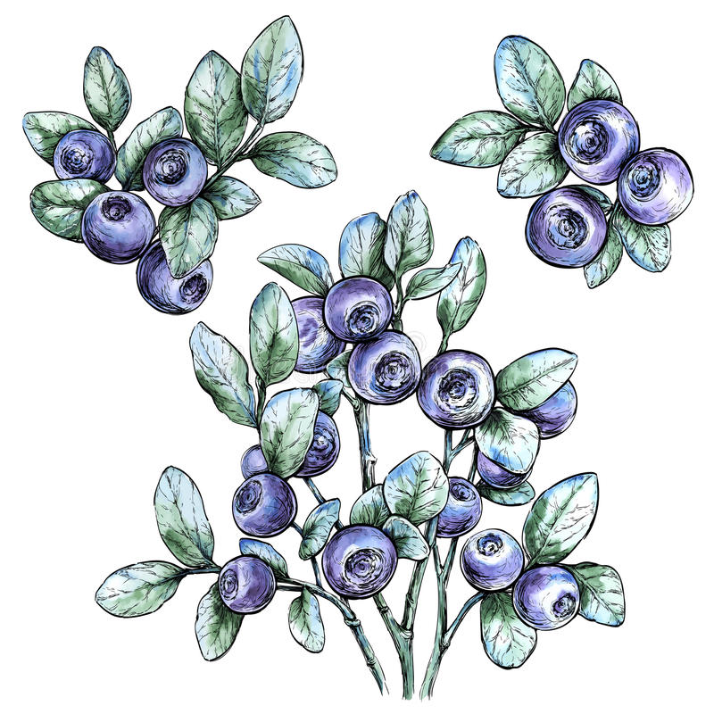 Free Hand Drawn Watercolor Set With Bilberries.Forest Berry. Eco Food Vector Illustration Stock Image - 74762481