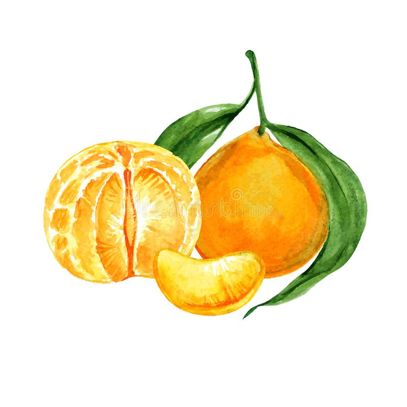 Ripe tangerine or clementine watercolor royalty free illustration