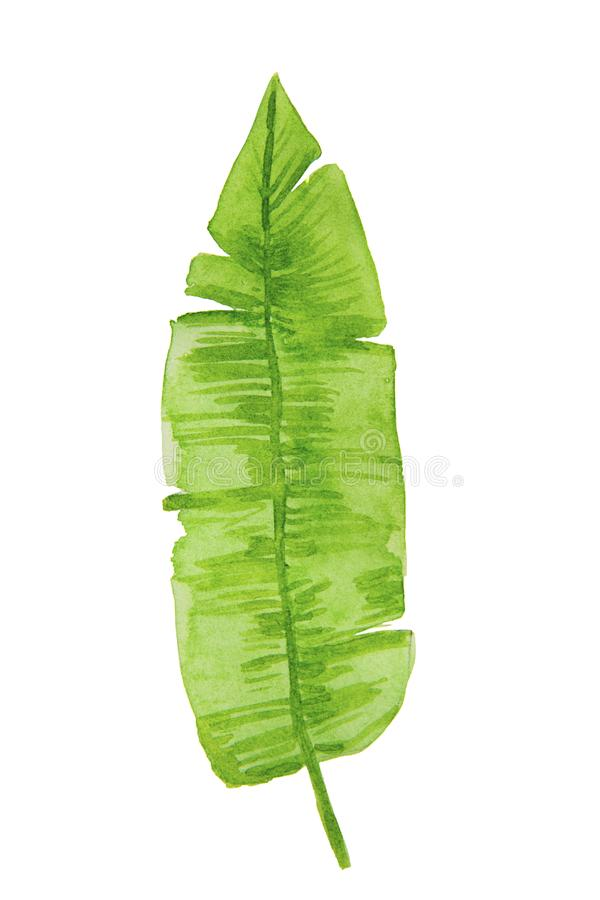 Hand drawn watercolor tropical plant leaf. Exotic, summer leaf, foliage. Desing template element royalty free illustration