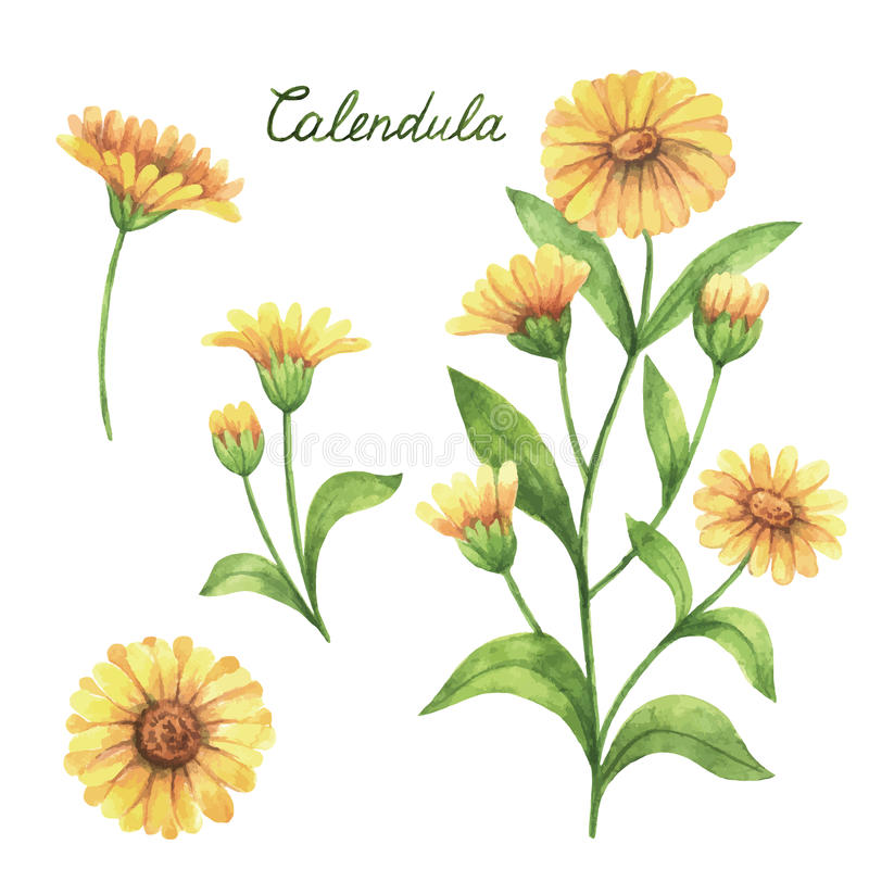 Hand drawn watercolor vector botanical illustration of calendula, marigold. royalty free illustration