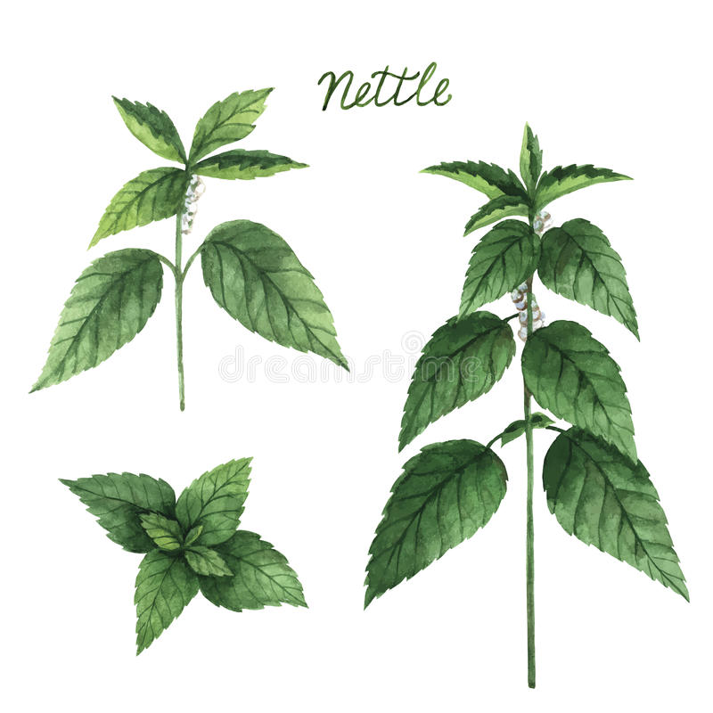 Hand drawn watercolor vector botanical illustration of nettle. royalty free illustration