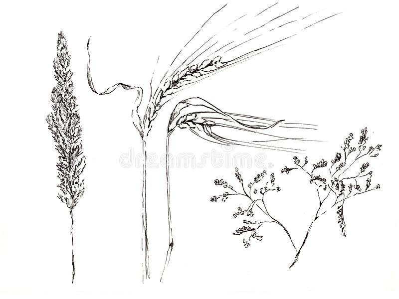 Hand drawn white and black sketch illustration by markers on white background. Field flower and weat.  royalty free illustration