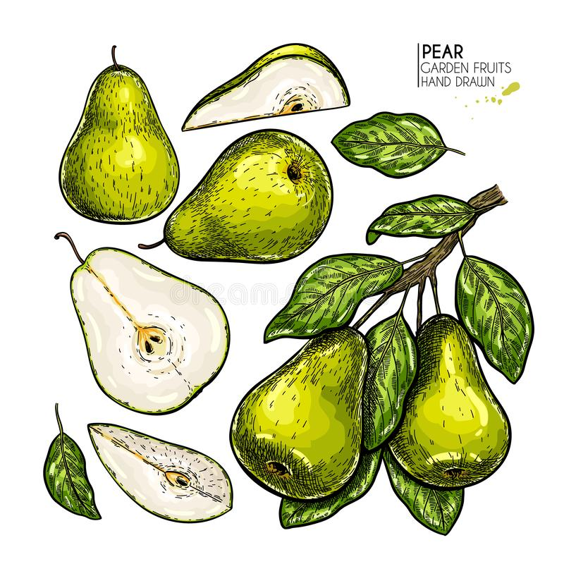Hand drawn whole, sliced pear and branch. Vector colored engraved illustration. Juicy natural fruit. Food ingredient. Hand drawn whole, sliced pear and branch stock illustration