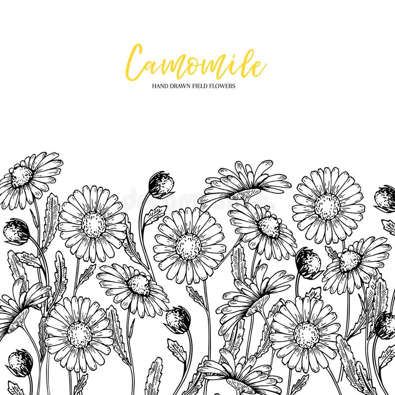 Hand drawn wild hay flowers. Chamomile daisy flower. Medical herb. Vintage engraved art. Border composition. Good for stock illustration