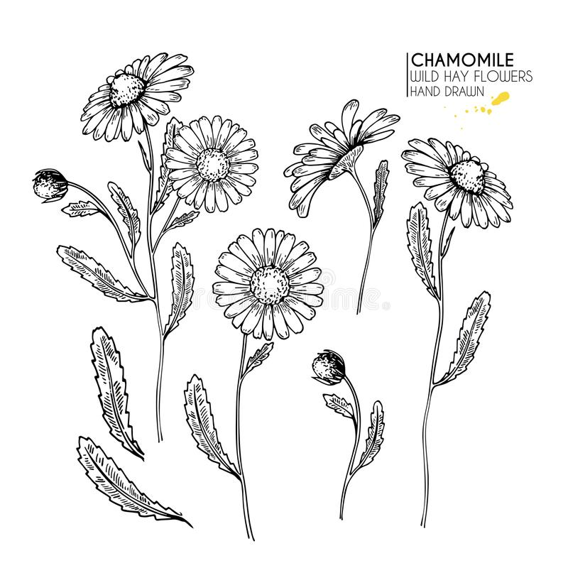 Hand drawn wild hay flowers. Chamomile or daisy flower. Vintage engraved art. Botanical illustration. Good for cosmetics, medicine royalty free illustration