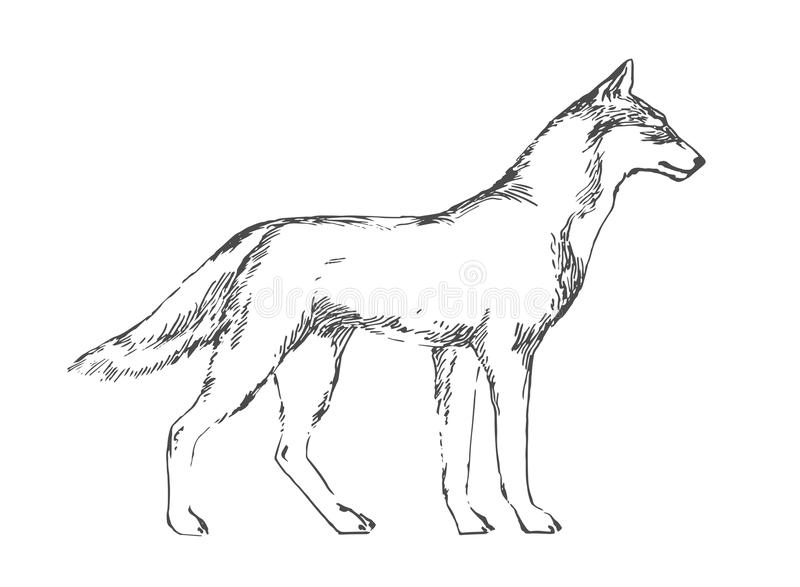 download hand drawn wolf black vector forest predator image on white background sketch style