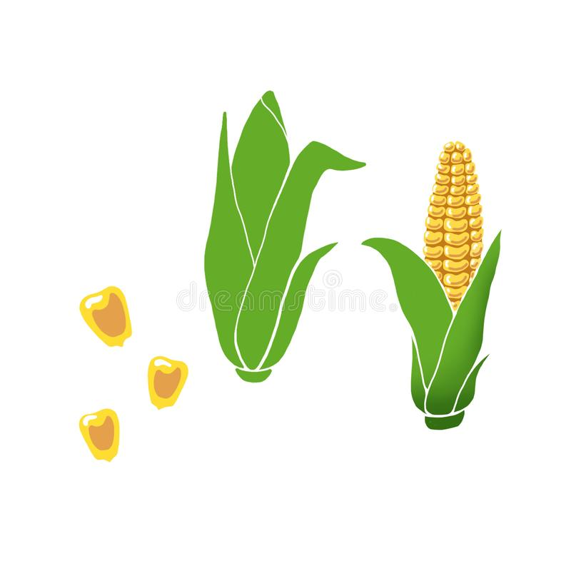 Hand drawn yellow corn cobs with green leaves, grains on white background. vector illustration