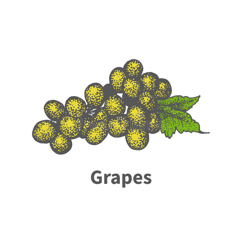 Hand-drawn yellow vine ripe grapes green leaf. Vector illustration doodle sketch hand-drawn yellow vine ripe grapes with a green leaf. on white background. The stock illustration