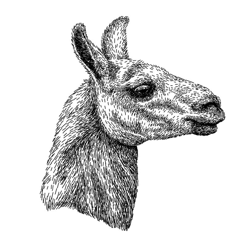Hand drawnealistic schets van lamaalpaca, zwart-witte die tekening, op wit wordt geïsoleerd Vector illustratie Uitstekende stijl royalty-vrije illustratie