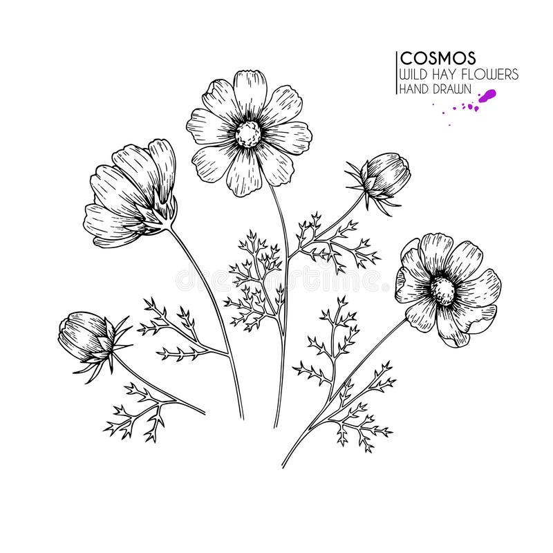 Hand drog lösa höblommor Kosmos eller cosmeablomma Tappning inristad konst Botanisk illustration Goda för skönhetsmedel, medicin, stock illustrationer