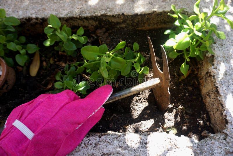 Hand in einem Gartenhandschuh, der ein grabendes Werkzeug und den Boden im Garten heraus graben hält lizenzfreies stockbild