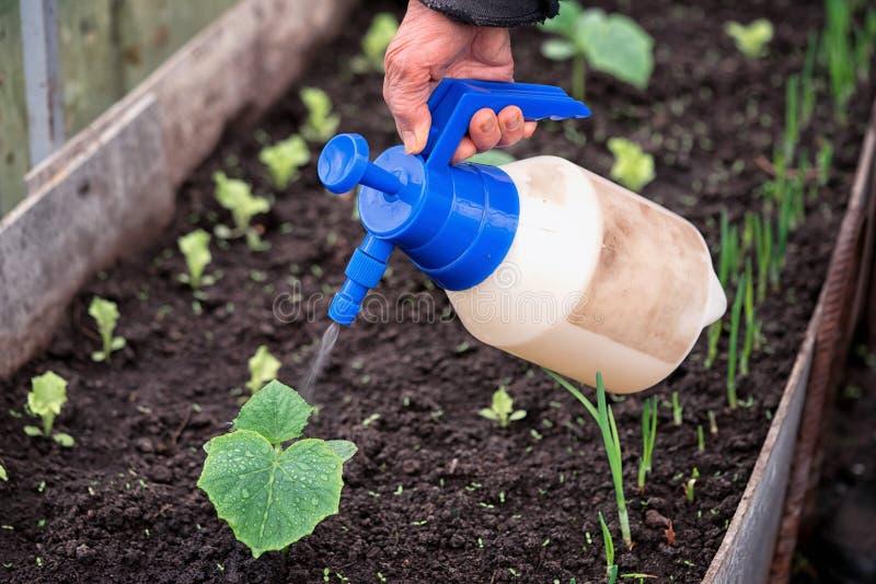 Hand eines Landwirts, der der neuen Grünpflanze im Boden Flüssigdünger gibt lizenzfreie stockfotos