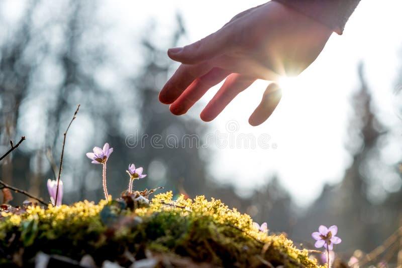 Hand eines Mannes über einem moosigen Felsen mit neuer empfindlicher blauer Blume lizenzfreies stockfoto