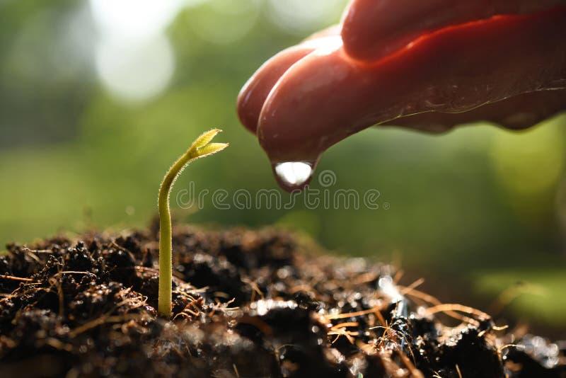 Hand för bonde` som s bevattnar en ung växt på naturbakgrund arkivbild