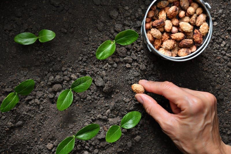 Hand för bonde` som s planterar en kärna ur royaltyfria bilder