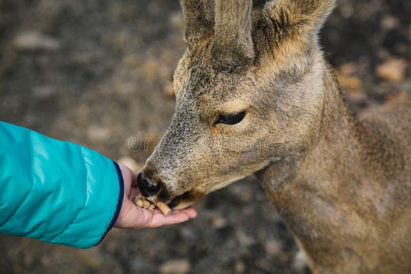 Hand för flicka` som s matar ett ungt rådjur arkivbild