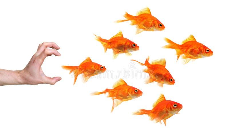 hand för låsguldfiskgrupp till att försöka royaltyfria foton