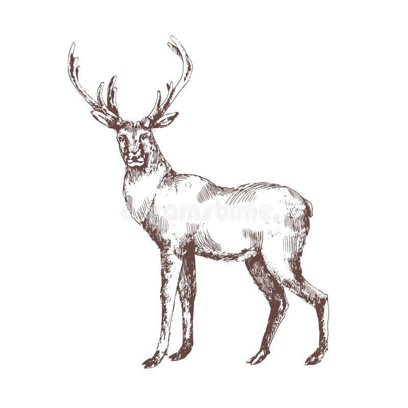 Hand för röda hjortar som dras med konturlinjer på vit bakgrund Elegant skissa teckningen av det lösa skogdjuret med horn på kron royaltyfri illustrationer