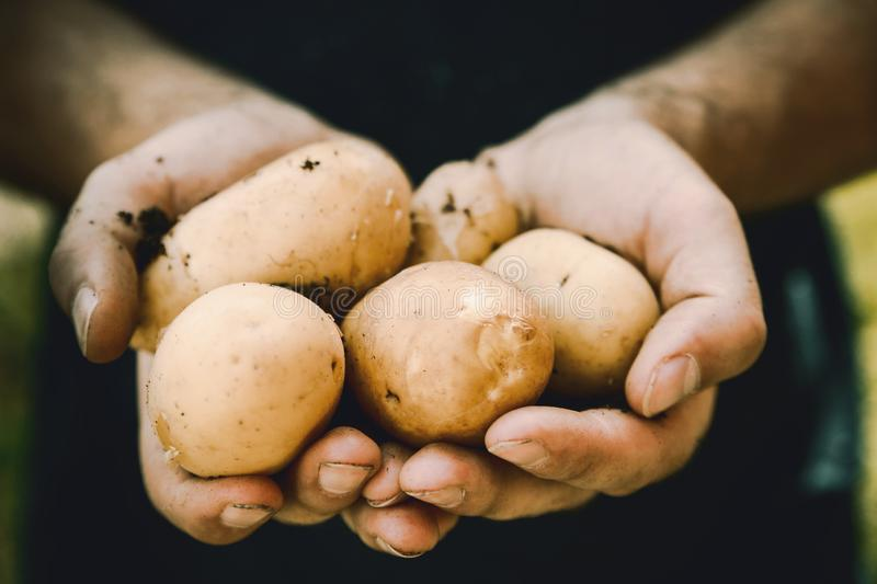 Farmers hands with freshly harvested vegetables. Fresh bio potatoes stock images