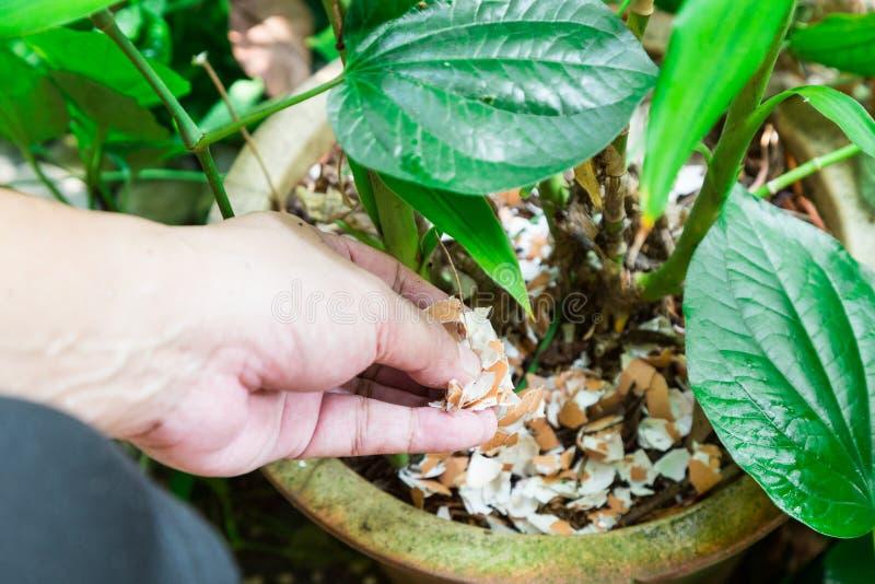 Hand feeding crushed eggs shells onto plants as organic fertilizer stock photos