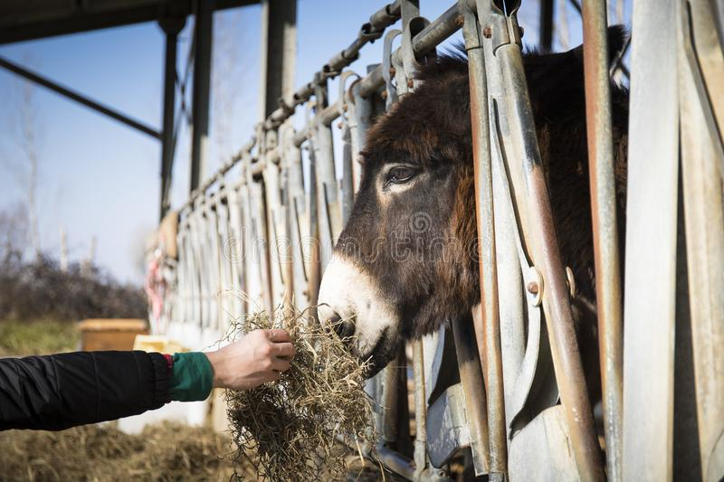 Hand feeding a donkey. In its stable at the farm royalty free stock image