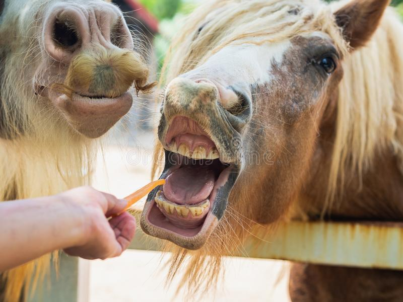 Hand feeding a horse with carrot. Fedding Pet Concept. royalty free stock photos