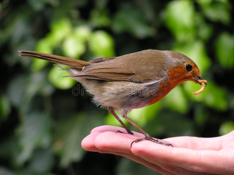 Hand Feeding a Robin Redbreast. Man's friend the robin or redbreast(Erithacus rubecula) stands on a hand to take meal-worms. He already has two in his beak, held stock images