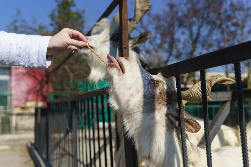 Hand feeding strips white Italian goat breeds of Gigantona with beautiful twisted horns - a descendant of the horned wild goat of. Mountainous Afghanistan stock images