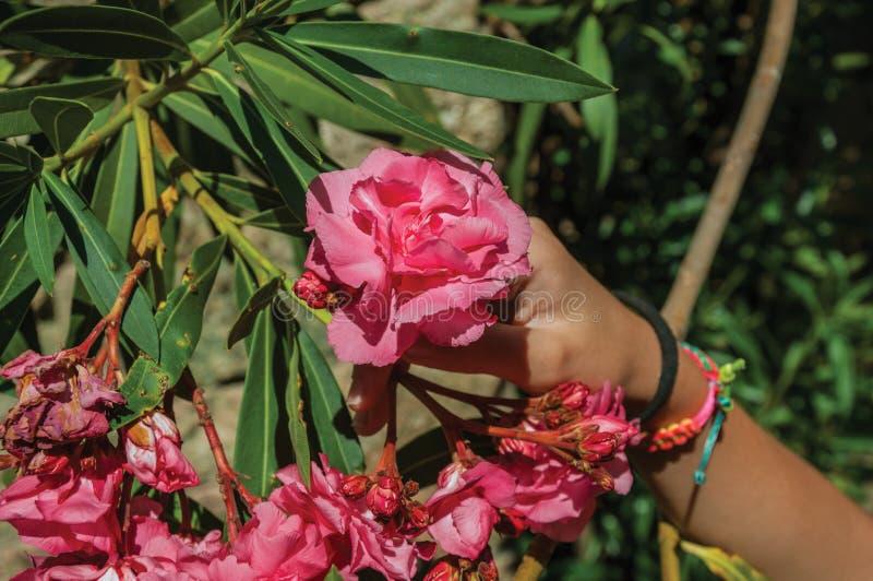 Hand från ett barn som rymmer en blomma i en lövrik buske royaltyfria bilder