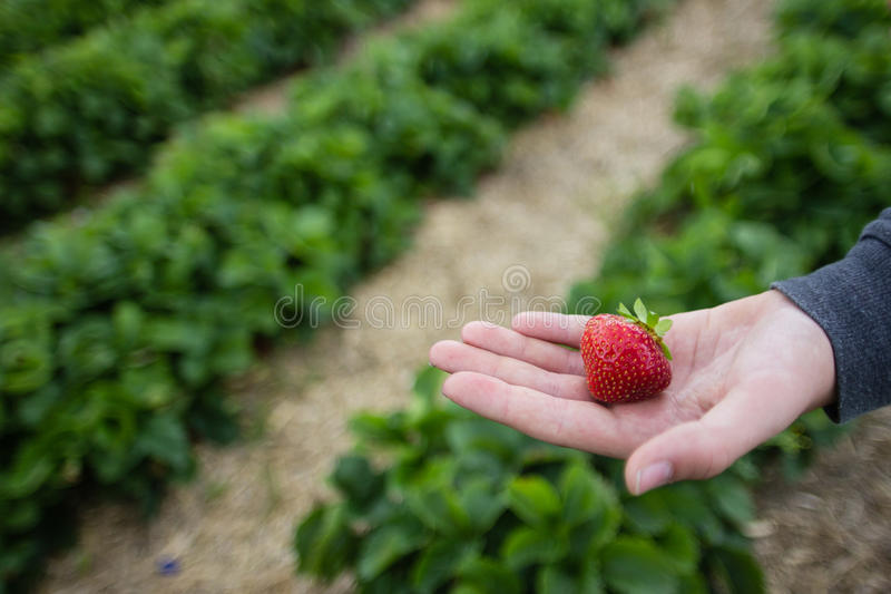 Hand with Freshly Picked Strawberry stock photo