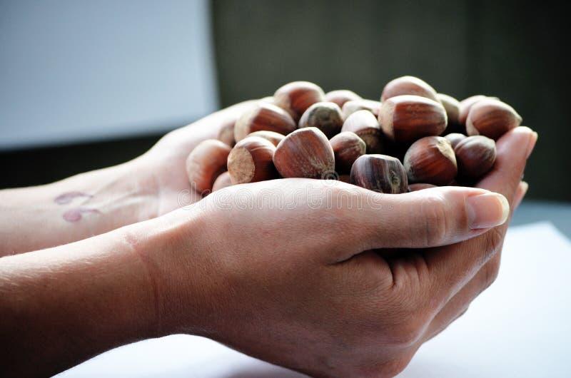 Hand full of hazelnuts royalty free stock photography