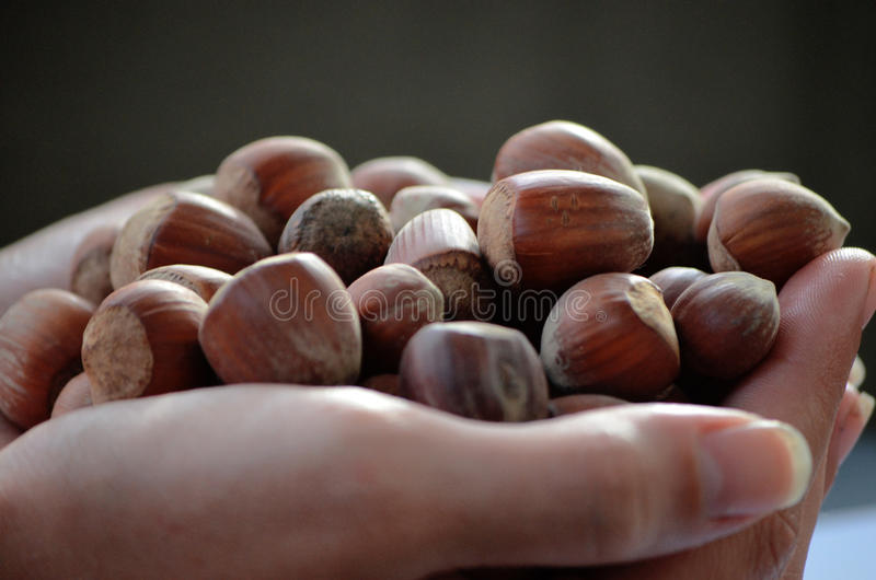 Hand full of hazelnuts stock images